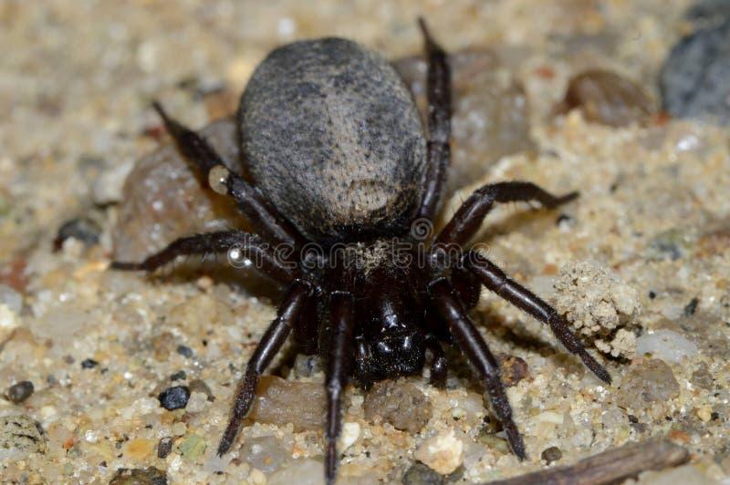 Schwarze Spinne auf dem Sand lizenzfreie stockbilder