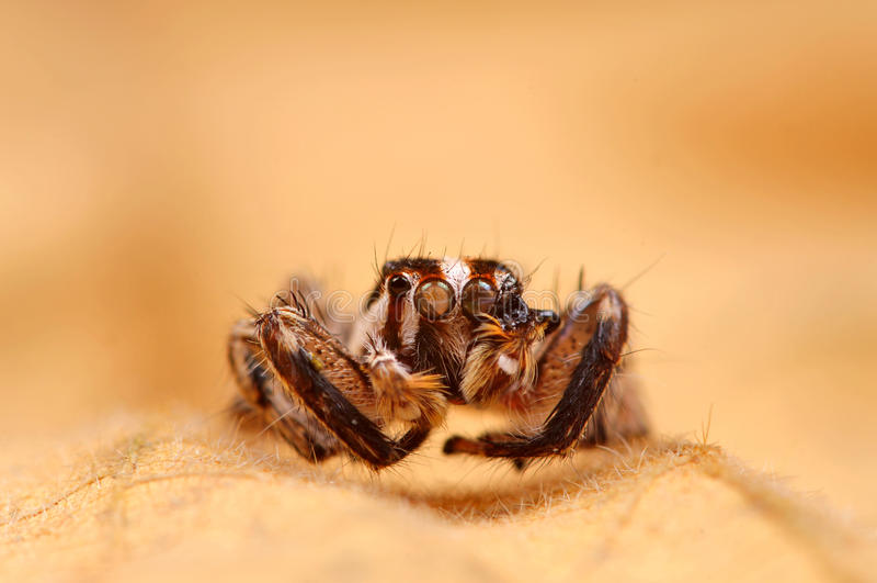 Schwarze springende Spinne stockfotografie