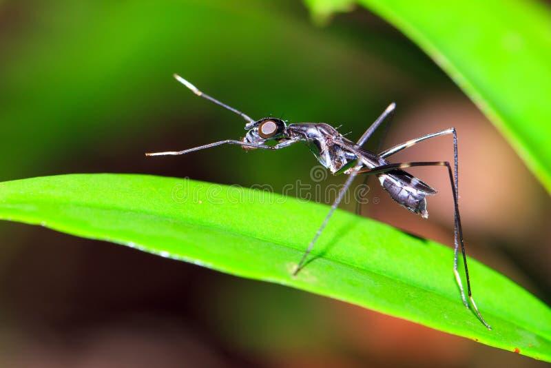 Schwarze Stelze-mit Beinen versehene Fliege lizenzfreie stockbilder