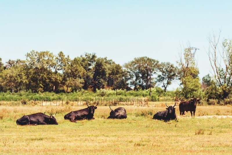 Schwarze Stiere des Stierkampfes bei Camargue parken auf Delta die Rhone stockbilder