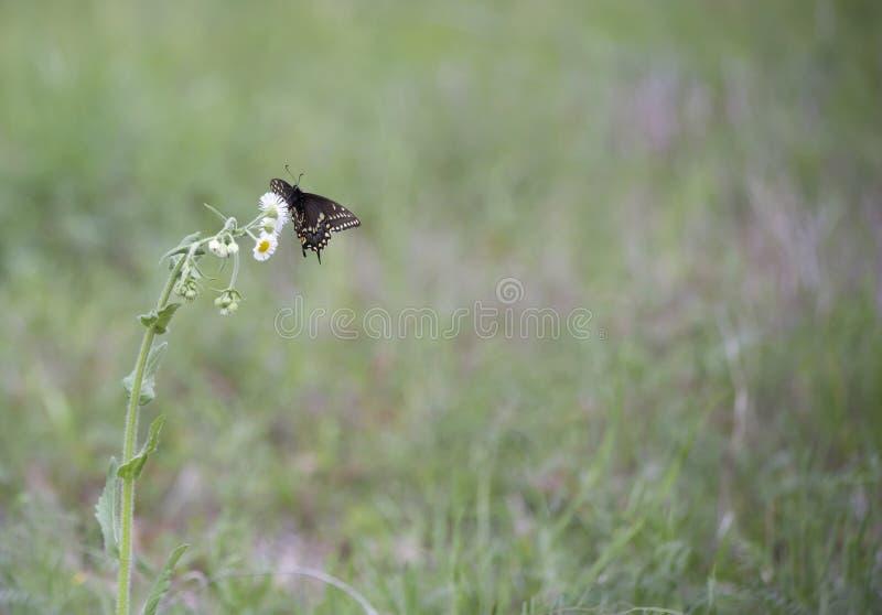 Schwarze Swallowtail Basisrecheneinheit lizenzfreie stockfotos