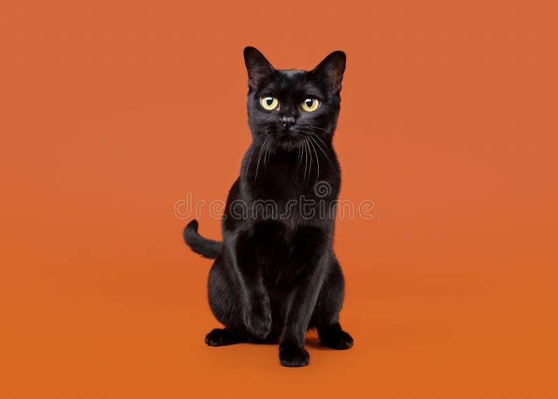 Schwarze traditionelle Bombay-Katze stockfotografie