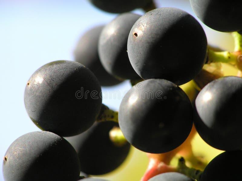 Schwarze Trauben lizenzfreie stockbilder