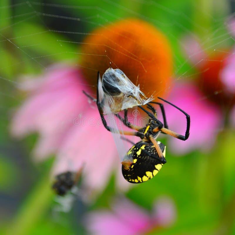 Schwarze und gelbe Gartenkreuzspinne mit Biene stockfotografie