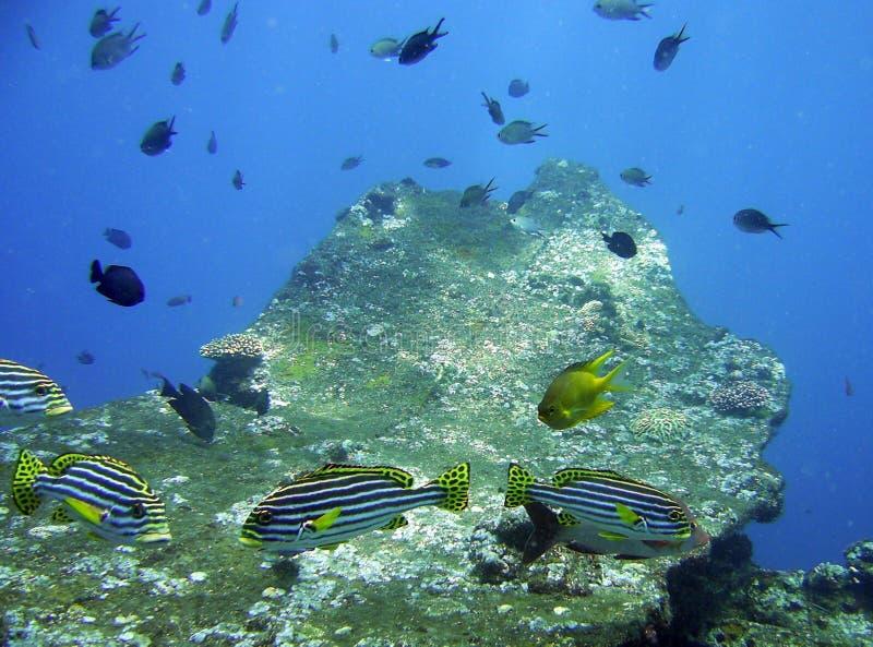 Schwarze und gelbe gestreifte Fische, Bali lizenzfreies stockfoto