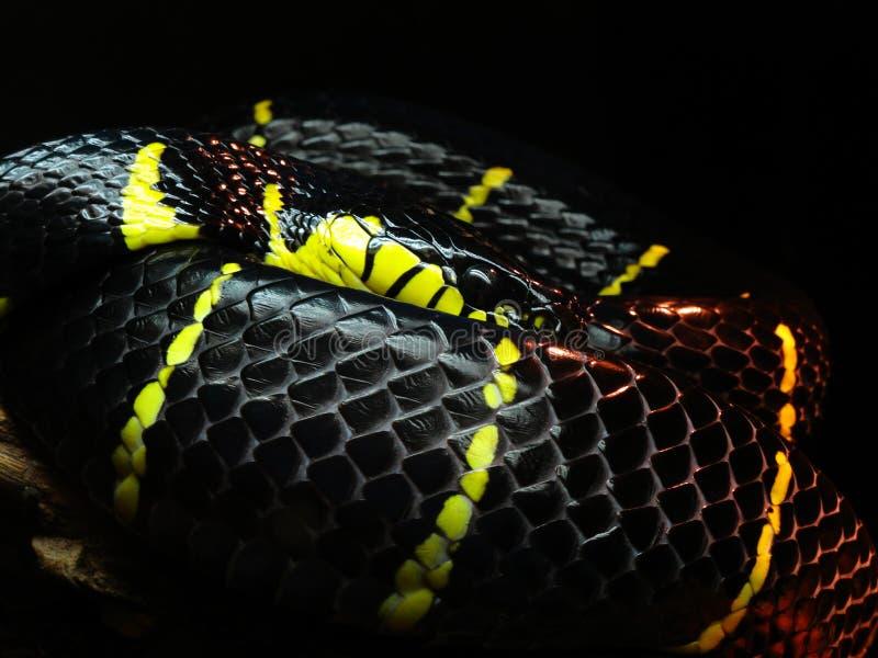 Schwarze und gelbe Schlange lizenzfreie stockfotografie