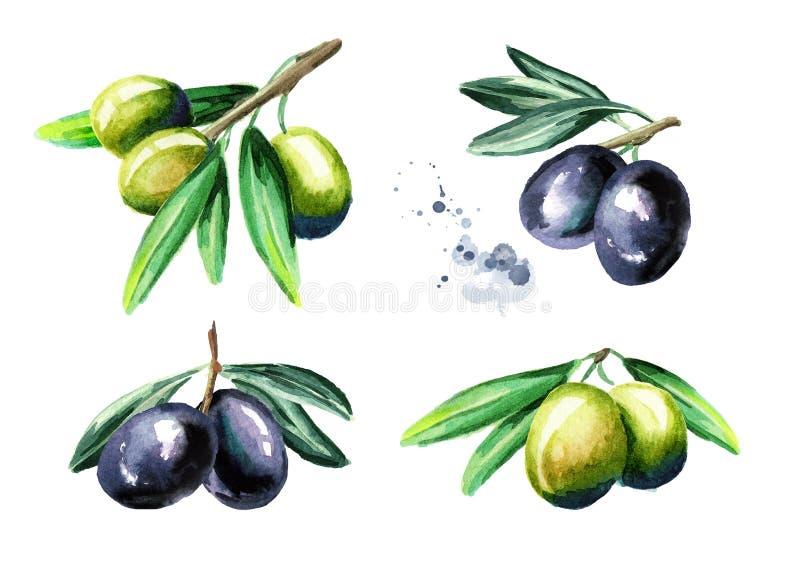Schwarze und grüne Oliven auf dem Niederlassungssatz, lokalisiert auf weißem Hintergrund Gezeichnete Illustration des Aquarells H lizenzfreie abbildung