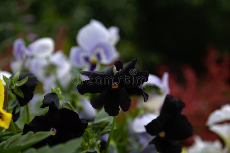 Schwarze Violablumen auf einem Hintergrund des blauen roten und grünen Laubs der Viola lizenzfreie stockfotos
