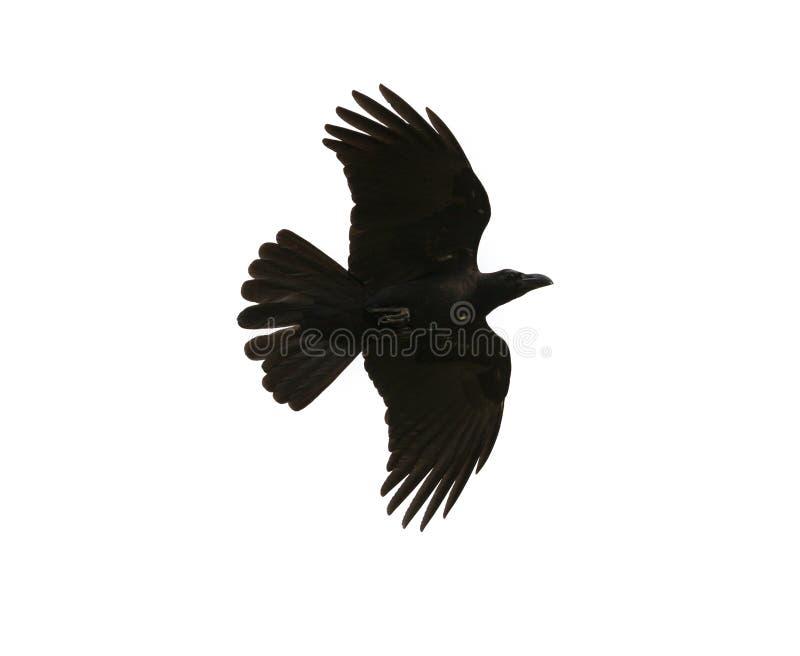 Schwarze Vogelkrähe, die mittleres Flugschaudetail herein unter Flügel feathe fliegt stockbilder
