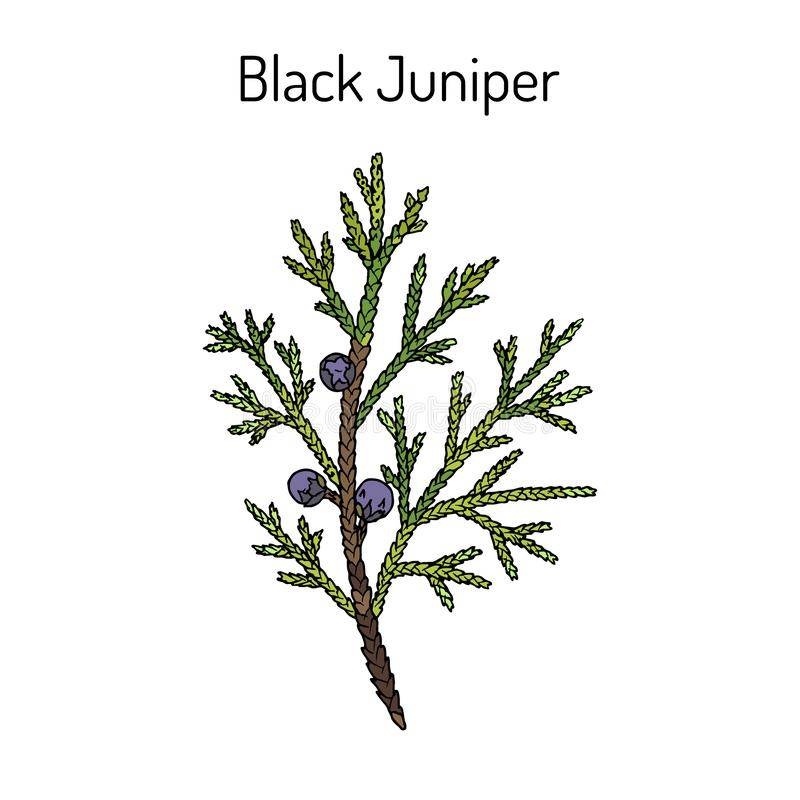 Schwarze Wacholderbusch Juniperus Indica, immergr?ne Heilpflanze vektor abbildung