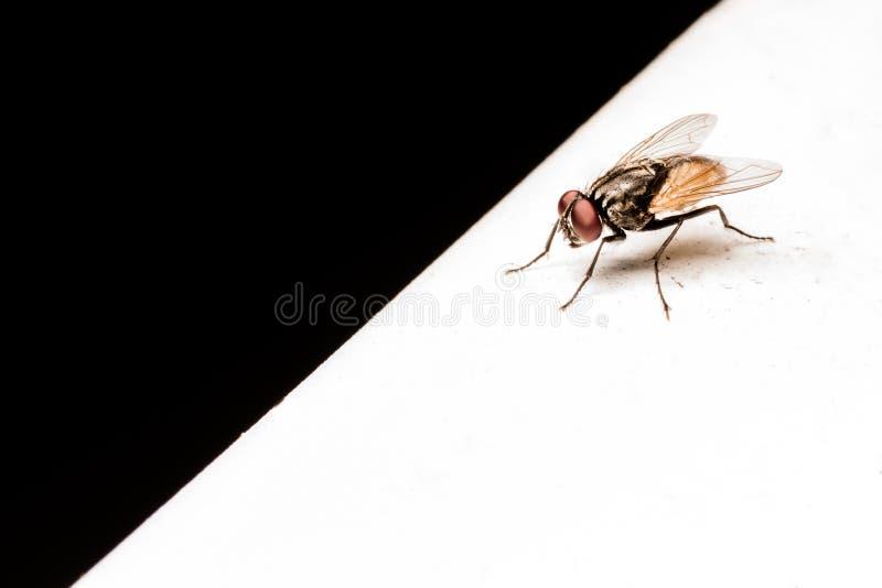 Schwarze Weiß-Fliegen stockfotos