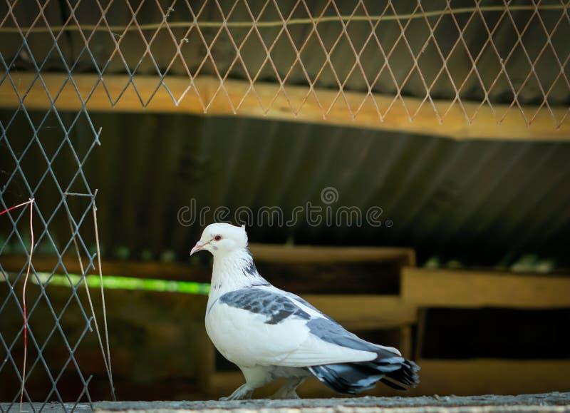 Schwarze weiße Taube an der Tür des Hauses stockfoto