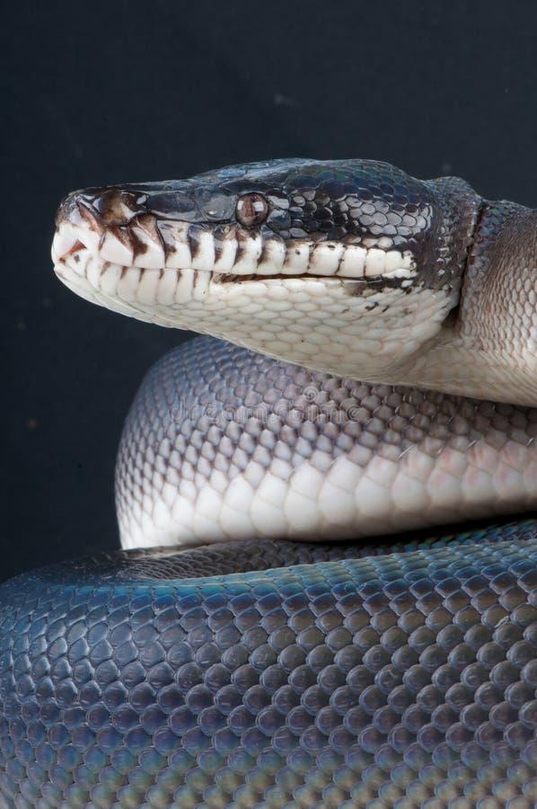 Schwarze white-lipped Pythonschlange lizenzfreies stockbild