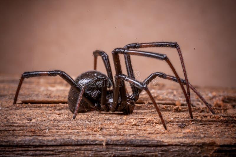 Schwarze Witwe Spinne stockfotografie