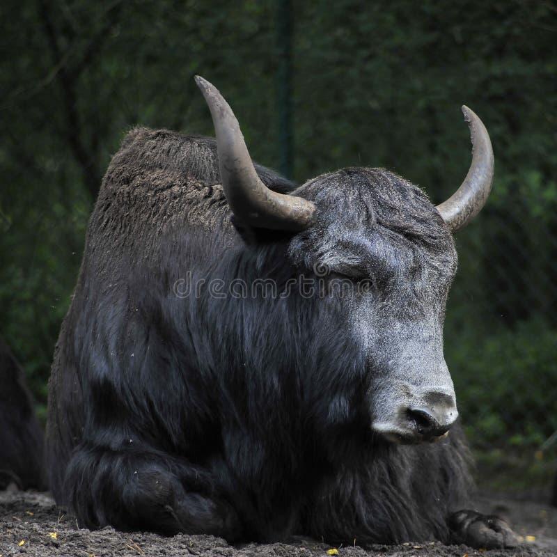 Schwarze YAK stockfoto
