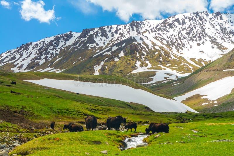 Schwarze Yak vor dem hintergrund der Schneeberge stockfotos