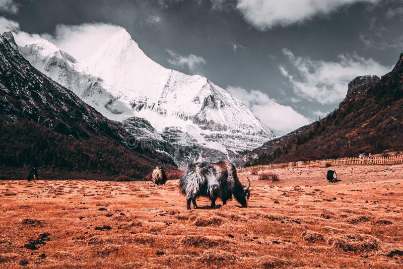 Schwarze Yaks in einer Weide an den Schneebergen mit Dunkelheit bewölkt Hintergrund stockfotografie