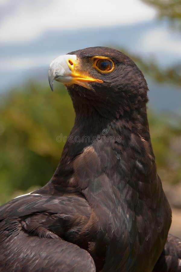 Schwarzer Adler stockfotos