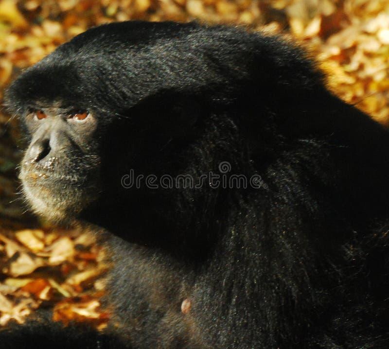 Schwarzer Affe lizenzfreie stockfotografie