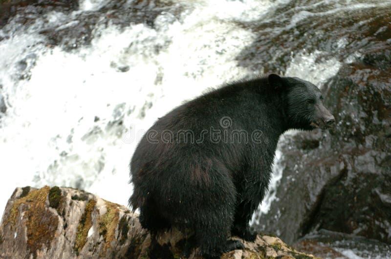 Schwarzer Bär, der nach Lachsen an Prinzen Of Whales in Alaska sucht lizenzfreie stockbilder