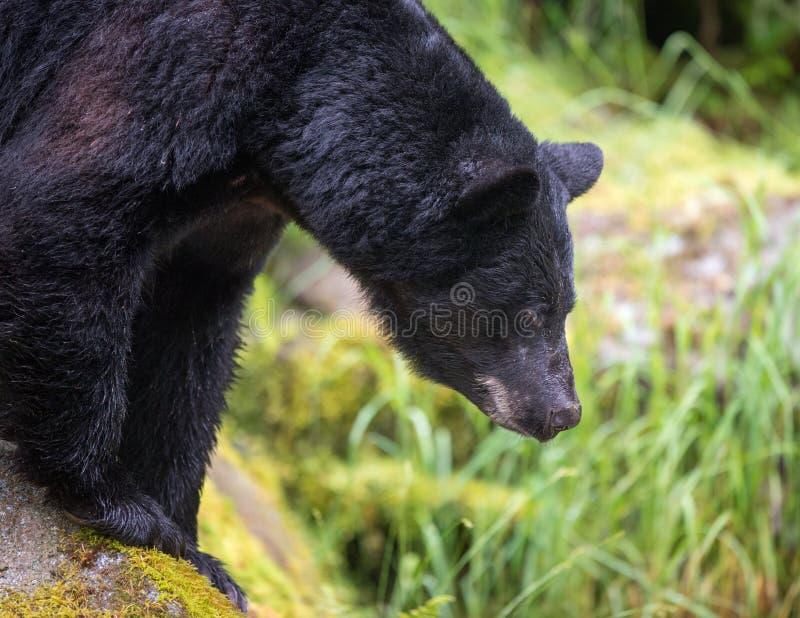 Schwarzer Bär, der nach Lachsen sucht stockfoto