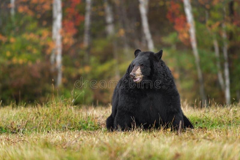 Schwarzer Bär (der Ursus americanus) sitzt auf dem Gebiet mit Autumn Colors stockbild