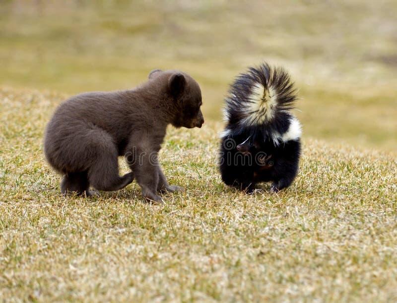 Schwarzer Bär (der Ursus americanus) trifft gestreiftes Stinktier - Bewegungszittern stockfotografie