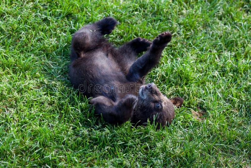 Schwarzer Bär des Schätzchens stockbild