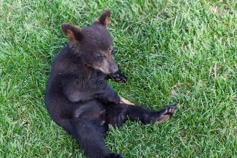 Schwarzer Bär des Schätzchens stockfoto
