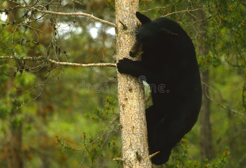 Schwarzer Bär im Baum lizenzfreies stockfoto
