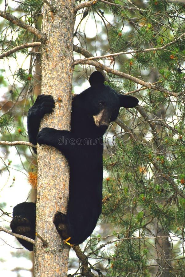 Schwarzer Bär im Baum stockfoto