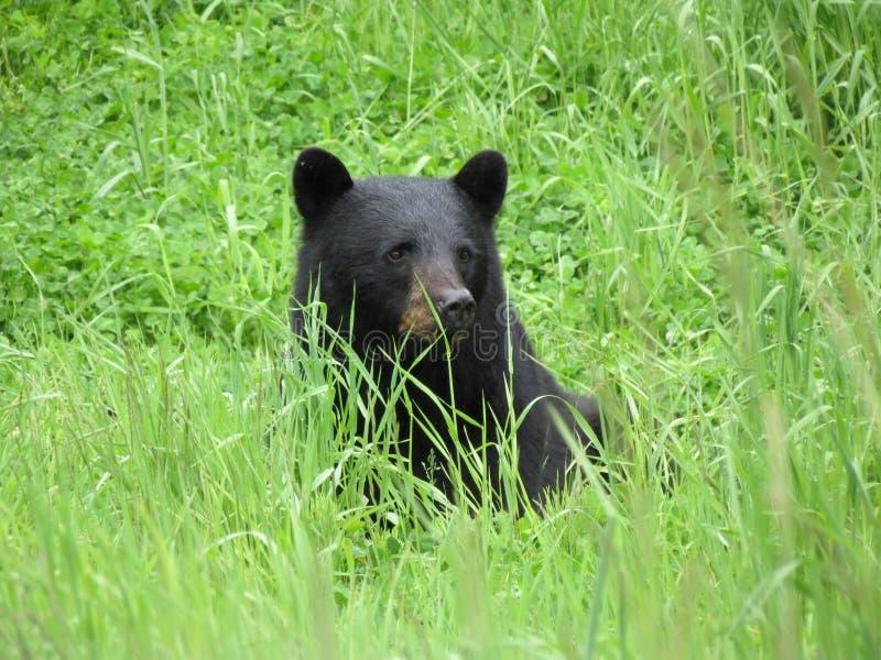 Schwarzer Bär im Gras lizenzfreie stockfotografie