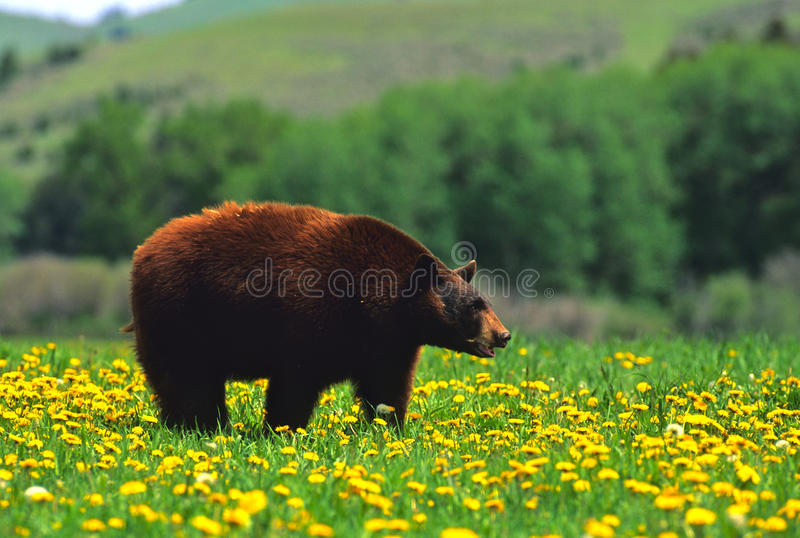 Schwarzer Bär im Löwenzahn stockbilder