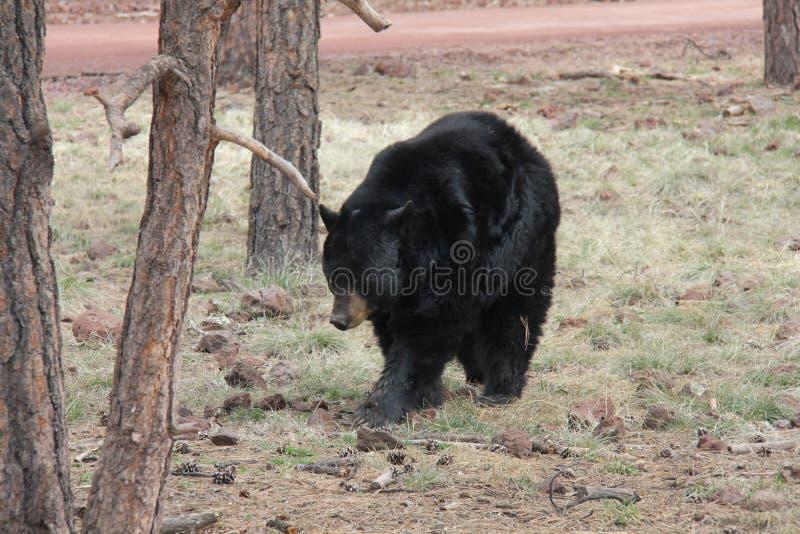 Schwarzer Bär im Wald stockbild