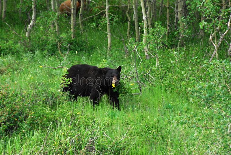 Schwarzer Bär im waterton lizenzfreie stockfotos