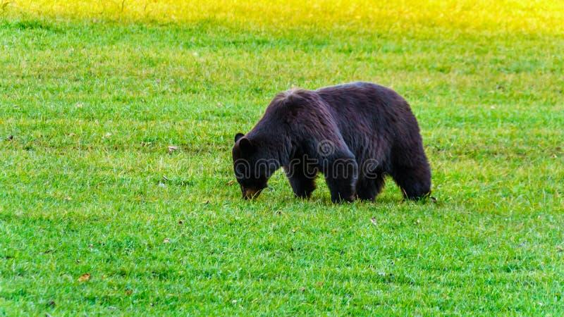 Schwarzer Bär mit einem starken Pelz, der auf einem Gebiet im frühen Winter vor dem Gehen in Winterschlaf in Wells Grey Provincia lizenzfreie stockfotos