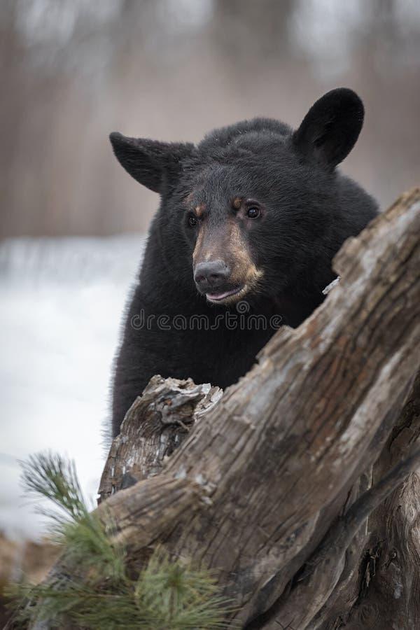 Schwarzer Bär Ursus americanus Hinter dem BaumWinter lizenzfreie stockfotos