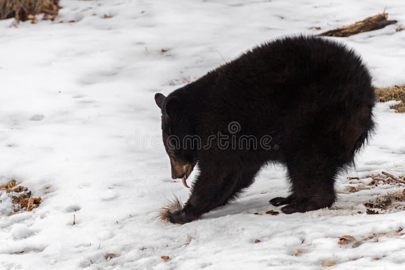 Schwarzer Bär Ursus americanus Zunge mit Tuft von Hirschhaar Winter lizenzfreie stockbilder