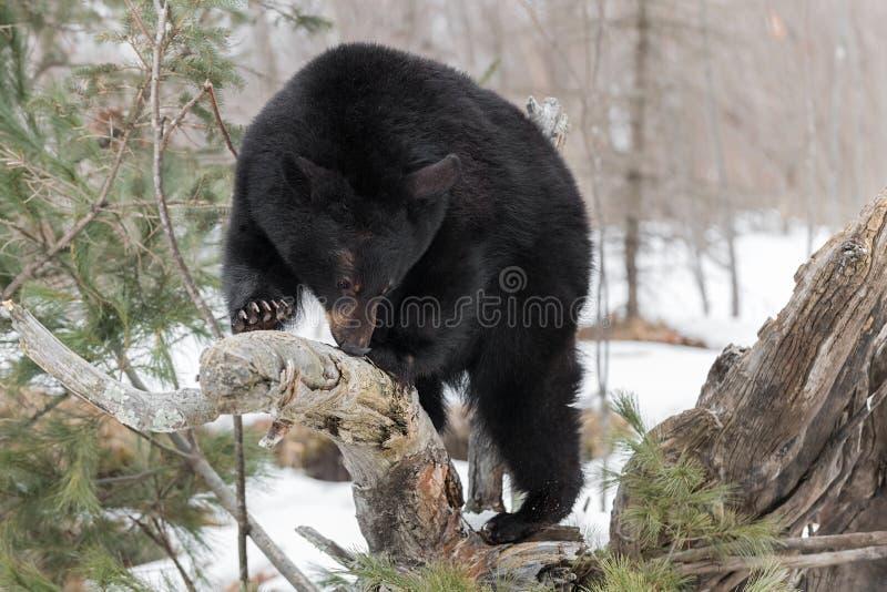 Schwarzer Bär Ursus-Atemzüge americanus tief am Klotz lizenzfreies stockbild
