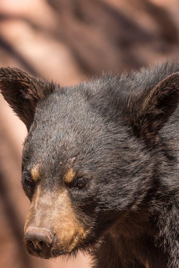 Schwarzer Bären-Portrait lizenzfreies stockbild