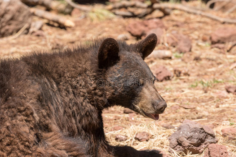 Schwarzer Bären-Stillstehen stockbild