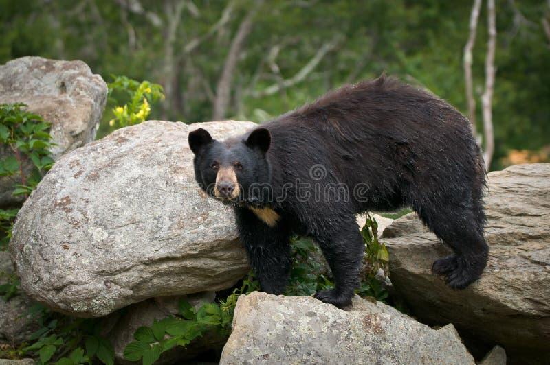 Schwarzer Bären-tierische im Freienwild lebende tiere stockfotografie