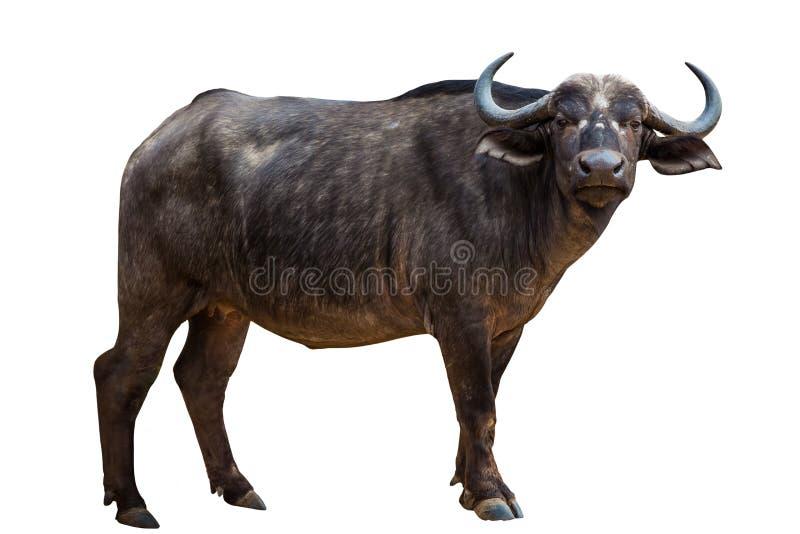Schwarzer Büffel lizenzfreie stockbilder