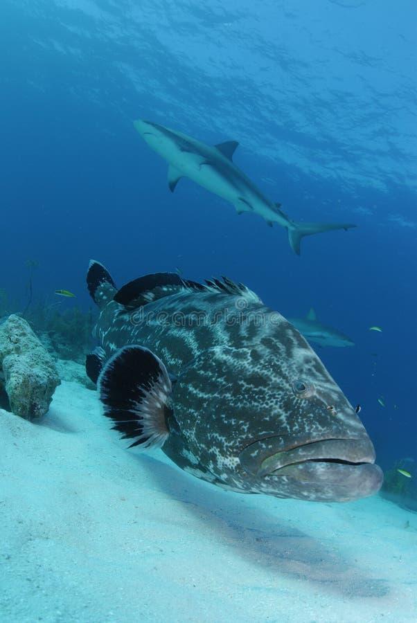 Schwarzer Barsch und karibischer Riff-Haifisch lizenzfreie stockbilder