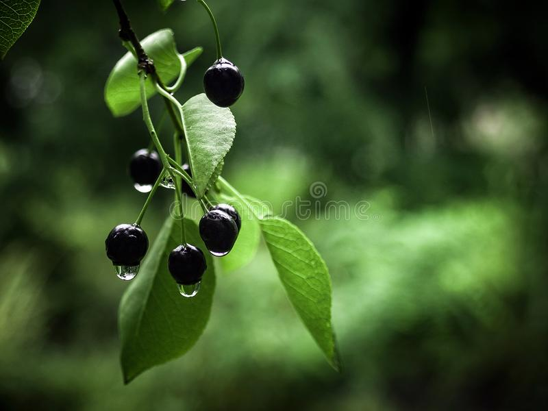 Schwarzer Cherry Chocolate Girl stockfotografie