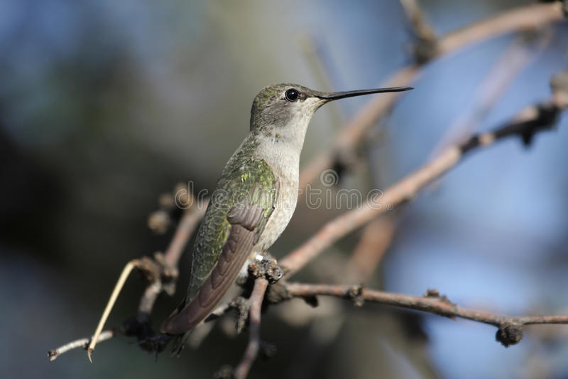 Schwarzer-chinned Kolibri (Archilochus alexandri) lizenzfreies stockfoto