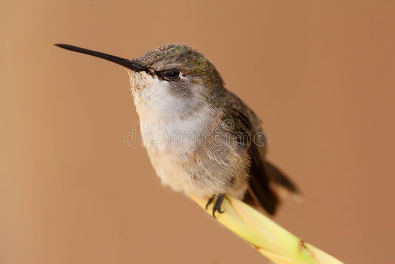 Schwarzer-chinned Kolibri (Archilochus alexandri) stockfotos