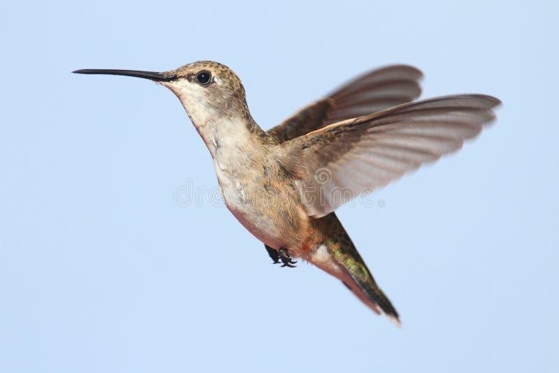 Schwarzer-chinned Kolibri (Archilochus alexandri) lizenzfreie stockfotos