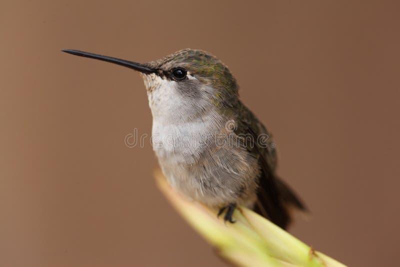 Schwarzer-chinned Kolibri (Archilochus alexandri) stockfoto