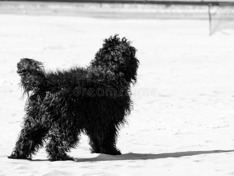 Schwarzer Cocker Spaniel-Hund, der Spaß am Sand hat stockfotos